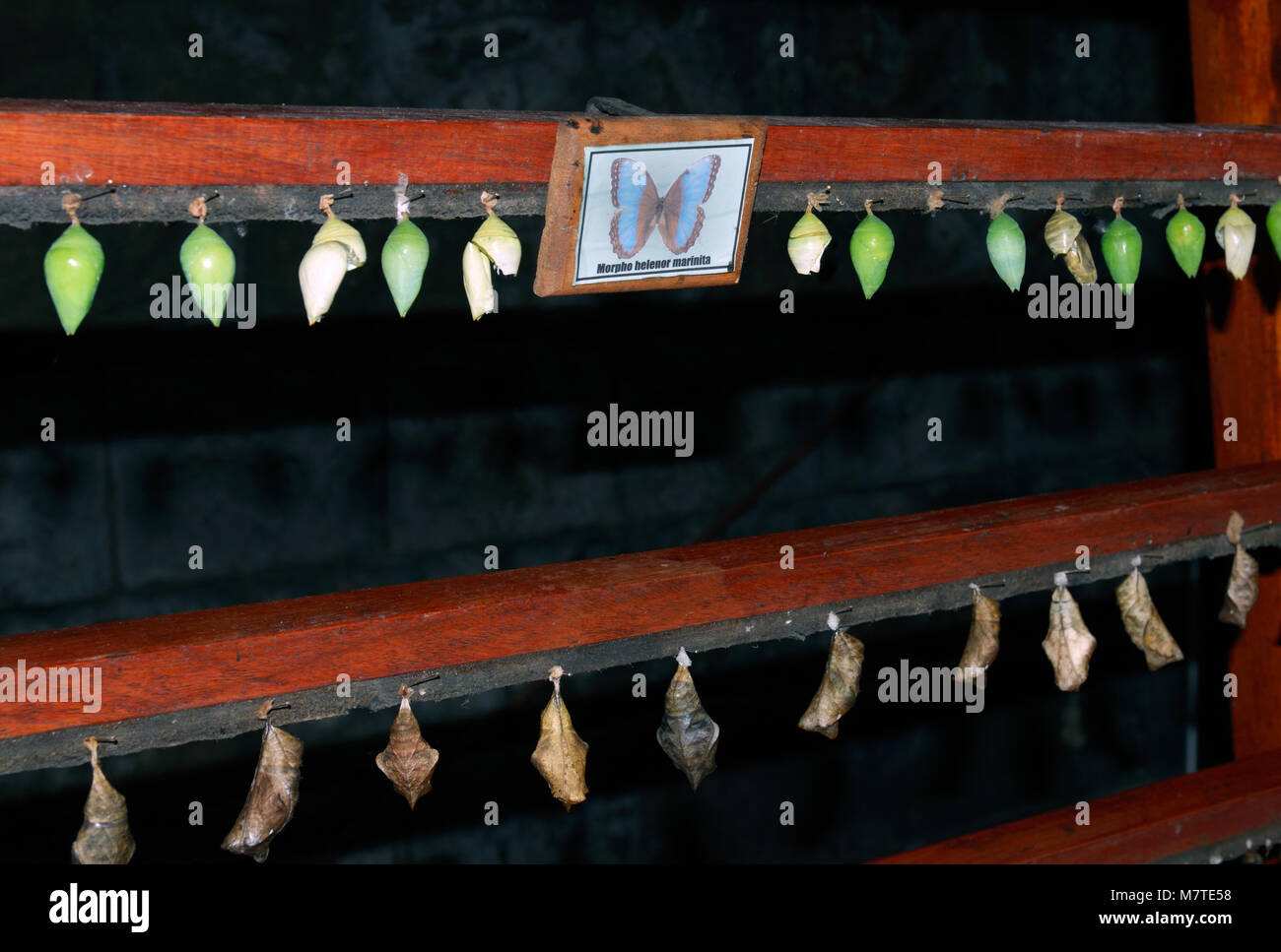 Butterfly farm, La Paz waterfall gardens, Costa Rica, with Blue Morpho butterfly pupae - Stock Image