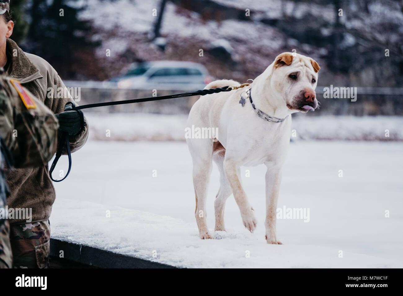 white dog walking outside on ledge - Stock Image
