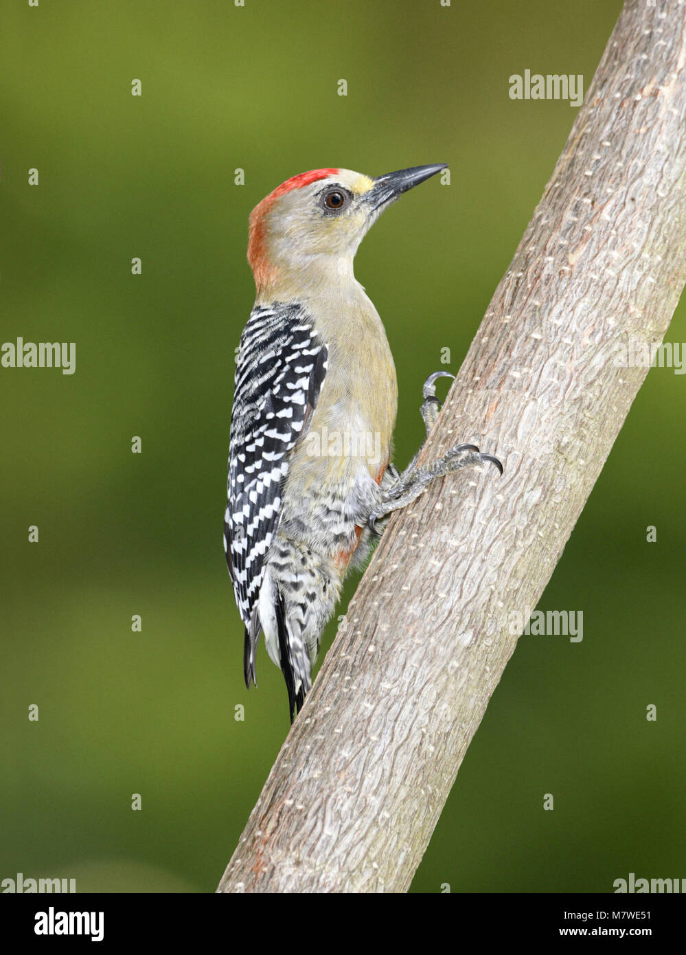 Red-crowned Woodpecker - Melanerpes rubricapillus - Stock Image