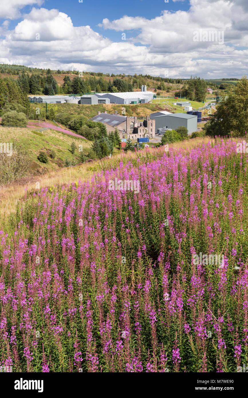 Rosebay willowherb flowers at Alwen Reservoir, WalesStock Photo