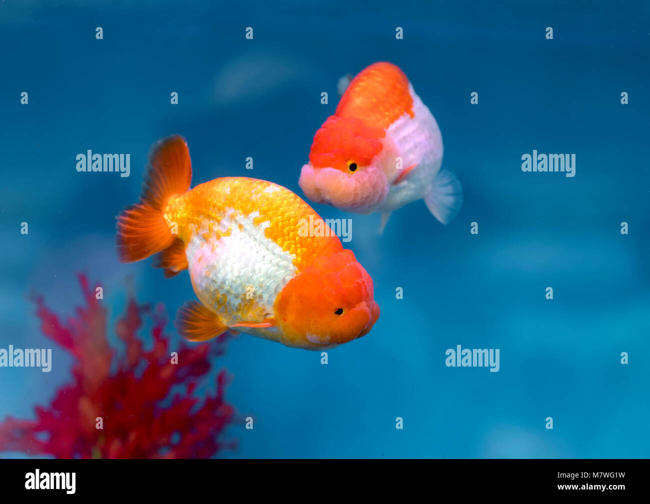 One of most popular pet ornamental fish is goldfish or Carassius auratus, Family Cyprinida. Ranchu or lionhead goldfish Stock Photo