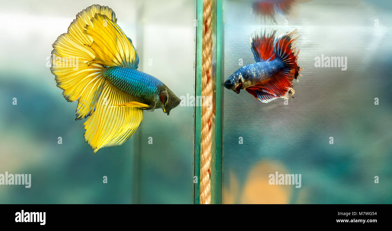 Halfmoon betta Colorful swimming in fish tank. This is a species of ornamental fish used to decorate the scene in - Stock Image