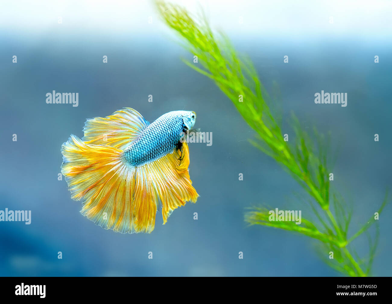 Halfmoon betta Colorful swimming in fish tank. This is a species of ornamental fish used to decorate the scene in Stock Photo