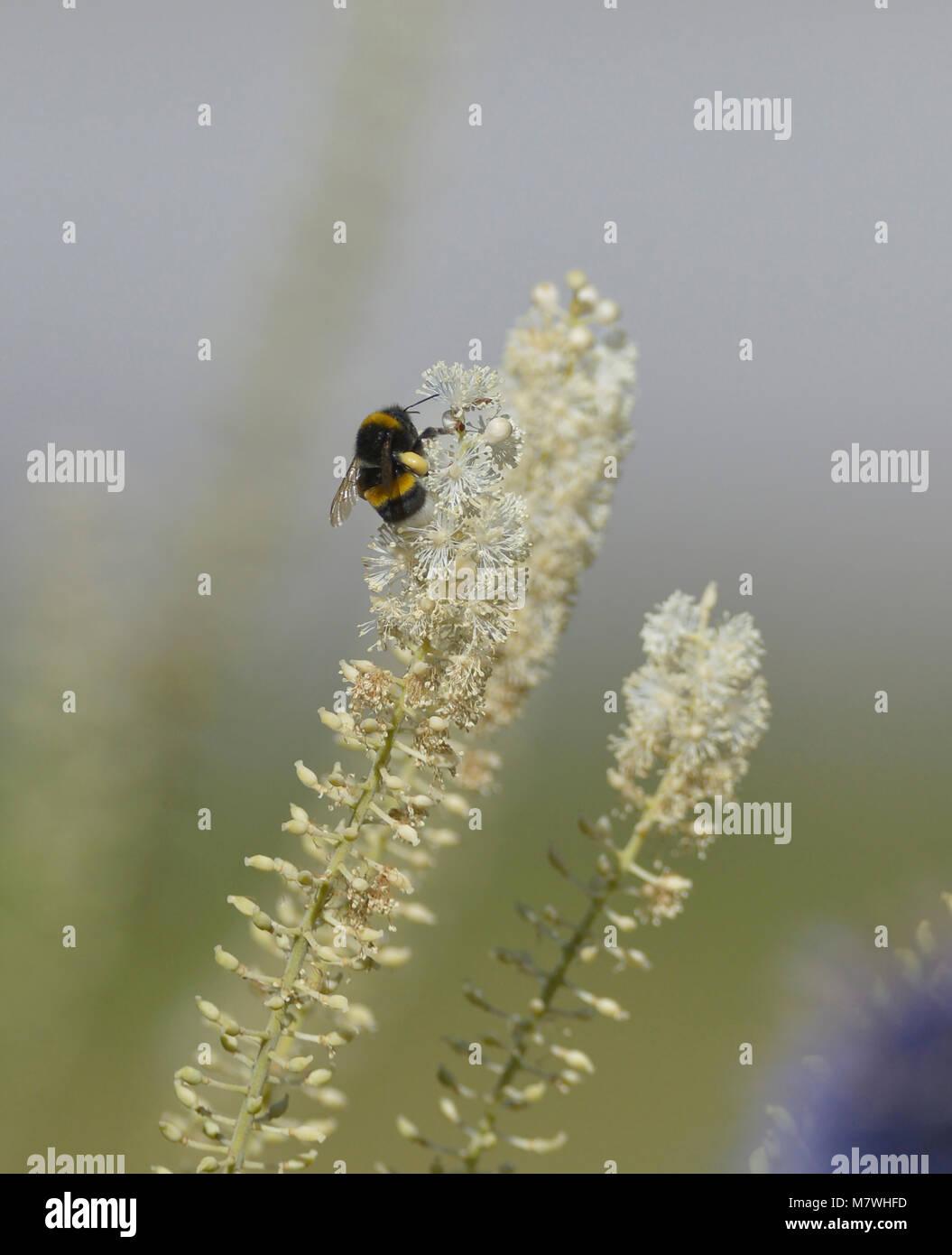 A small bumblebee collecting pollen - Stock Image