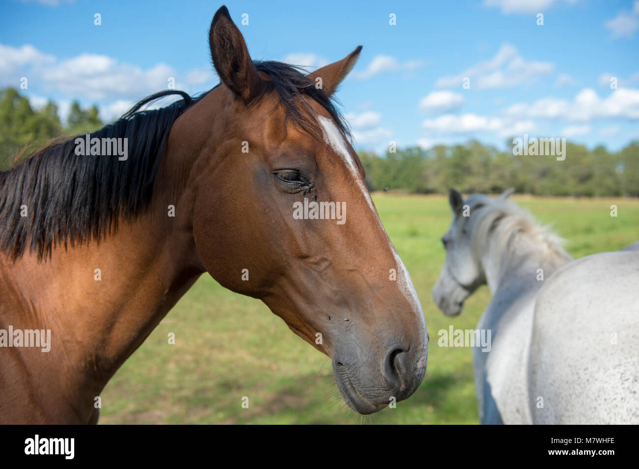 Two horses in a field one brown and one white, blue sky and Forrest in background - Stock Image