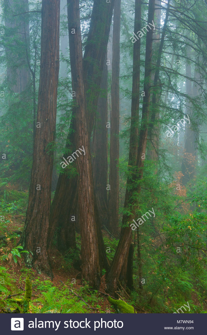 Coastal Fog, Redwoods, Muir Woods National Monument, Marin County, California - Stock Image