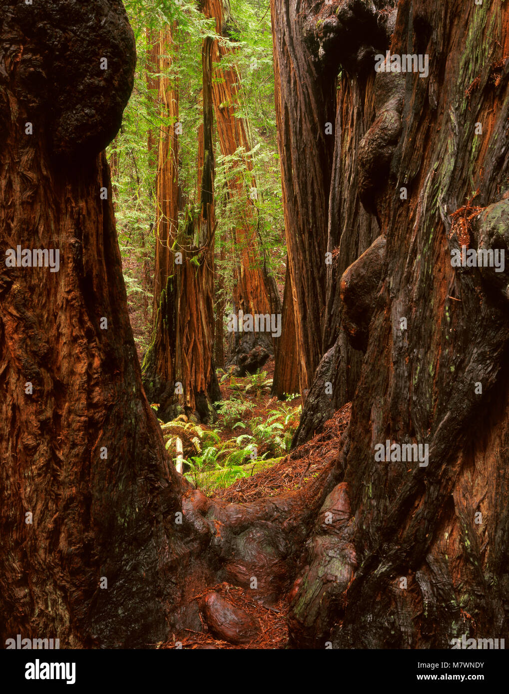 Redwoods, Sequoia sempervirens, Muir Woods National Monument, Marin County, California - Stock Image