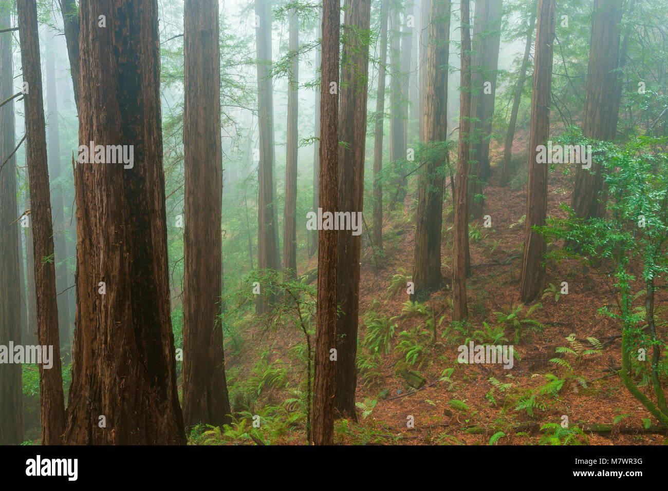 Coastal Fog, Redwoods, Sequoia sempervirens, Muir Woods National Monument, Marin County, California - Stock Image