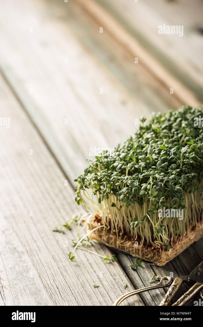 Garden cress, young plants. - Stock Image