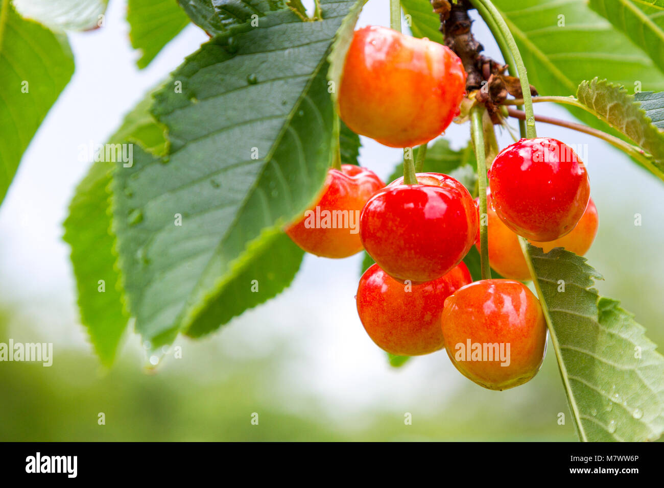 Ripe cherries branch with raindrops. Red berry fruit tree after rain, summer time garden background. Selective focus. - Stock Image