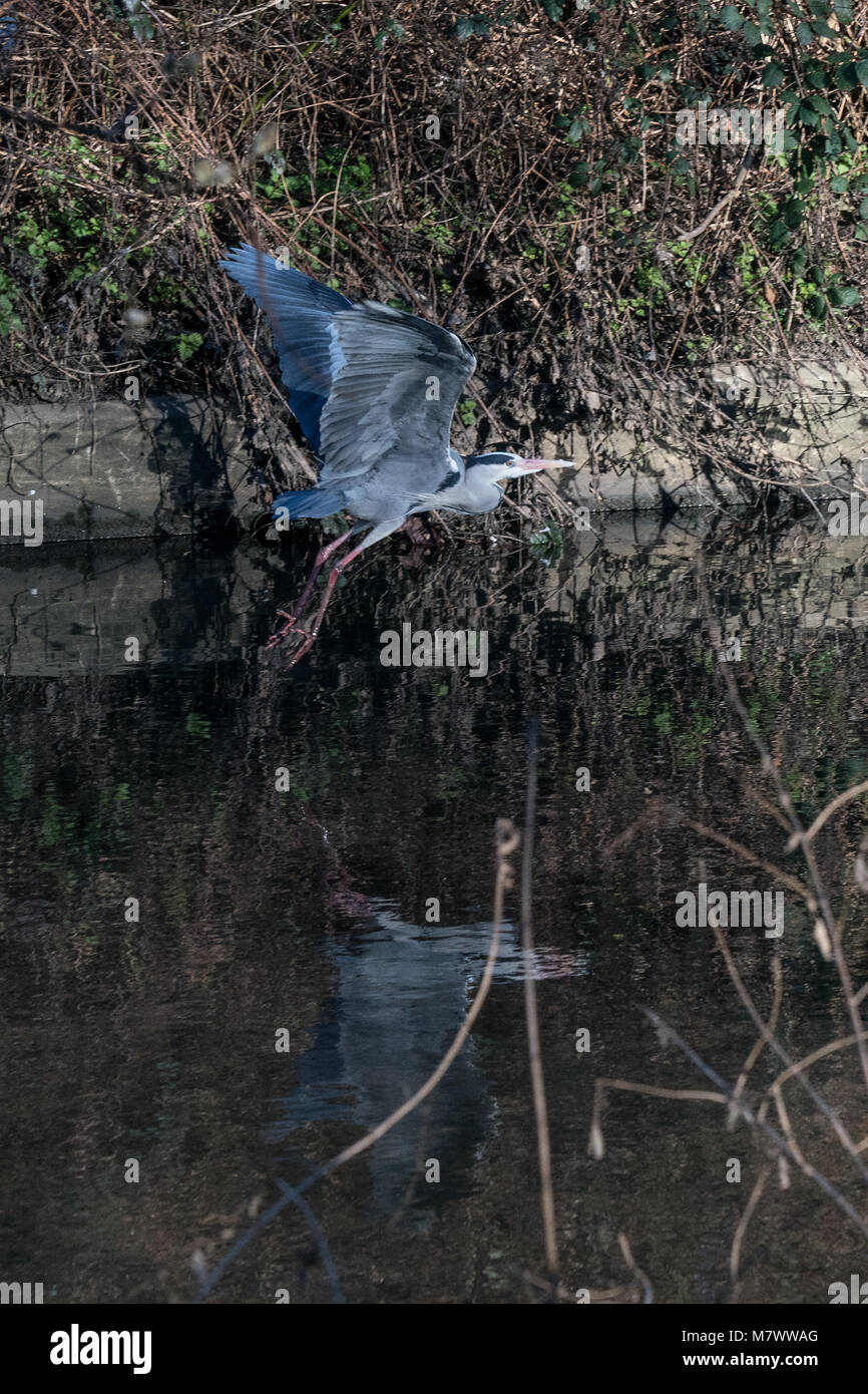 A crane (bird) takes flight on the river Brent in west London. Photo date: Sunday, February 25, 2018. Photo: Alamy - Stock Image