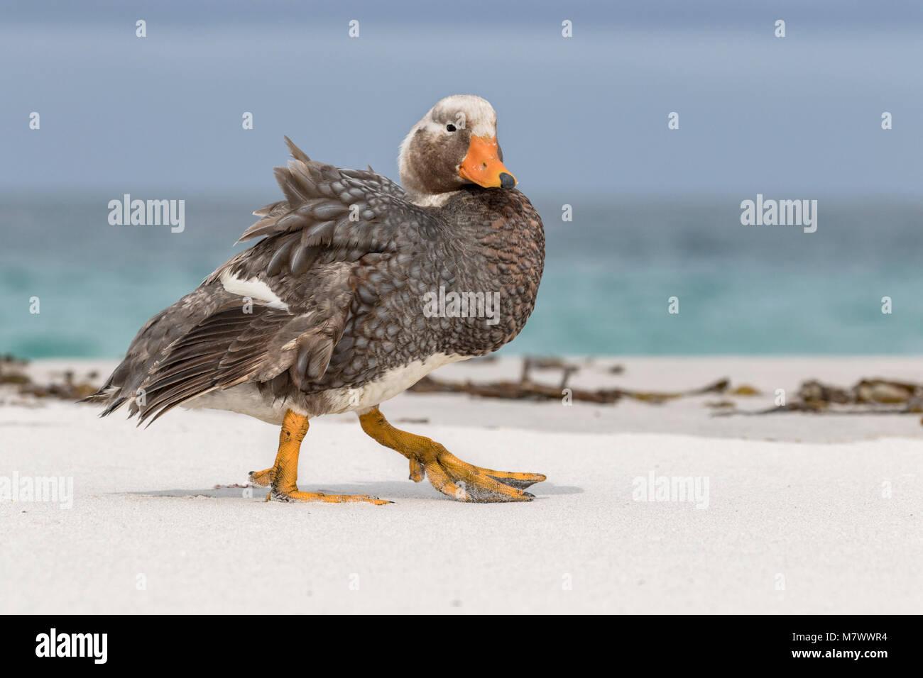 Steamer Duck - Stock Image