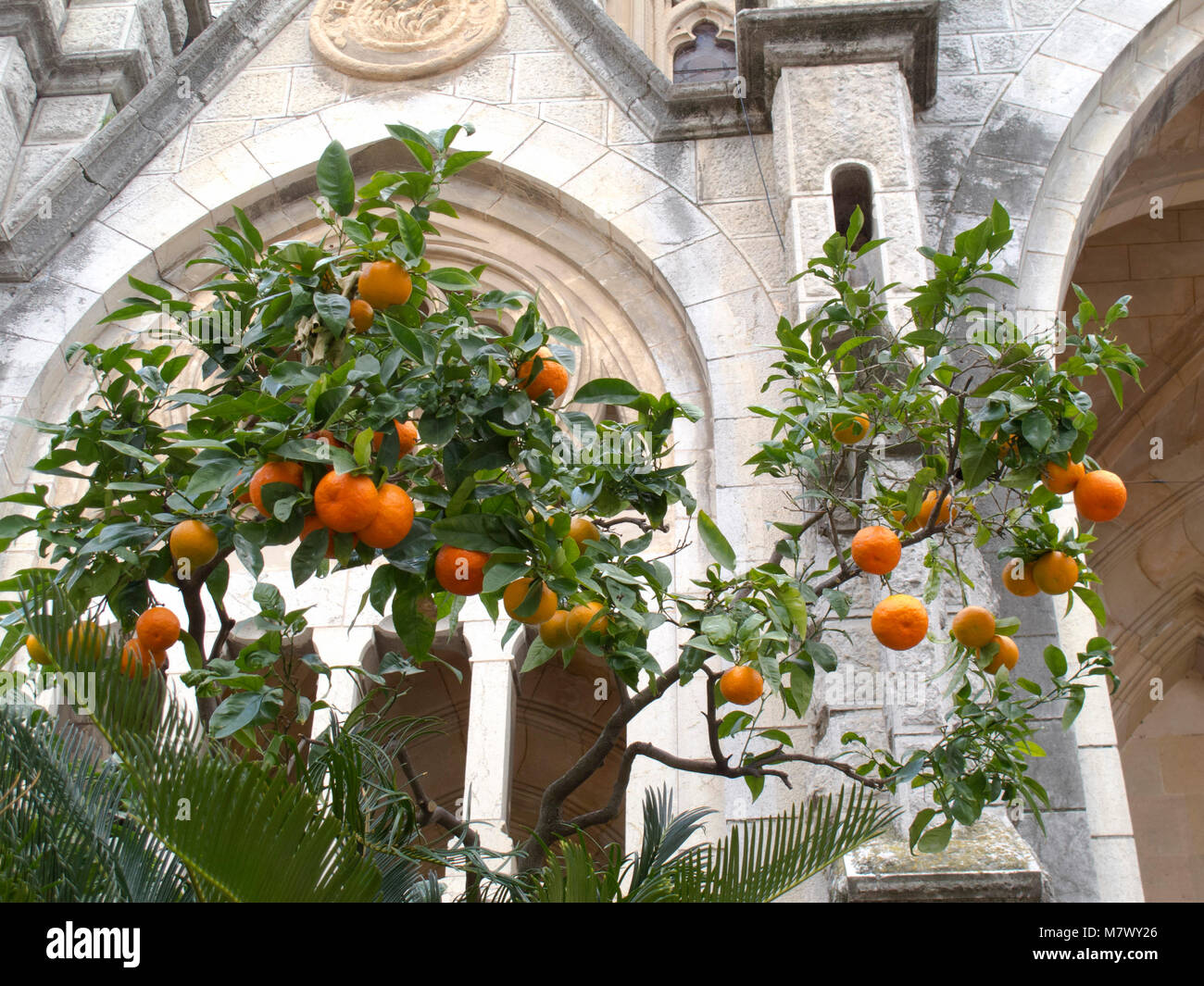 Oranges on a tree in a town square with a church behind Stock Photo