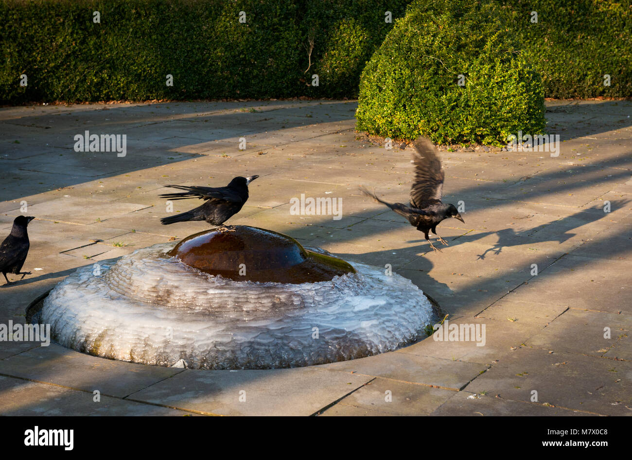 Ravens perching and drinking water on frozen iced small fountain on cold and sunny winter morning. - Stock Image