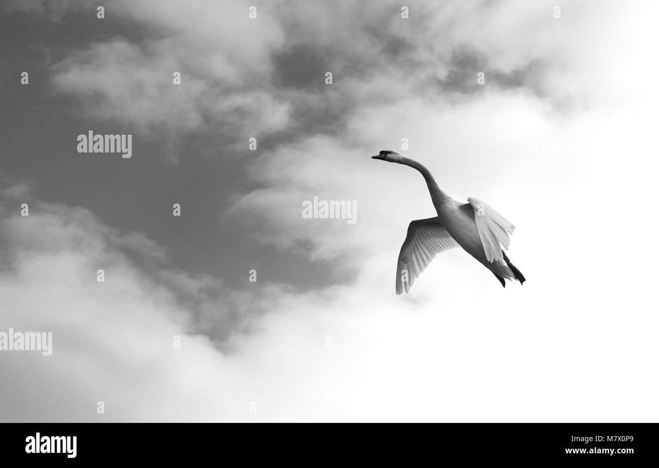 unusual black and white view of aerodynamic mute swan coming into land with wings outstretched looking like concorde - Stock Image
