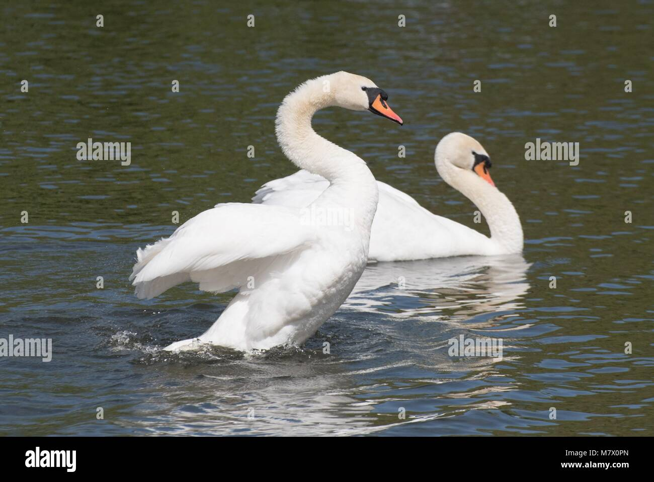 mating pair of mute swans swim next to each other and appear to have a robust argument - Stock Image