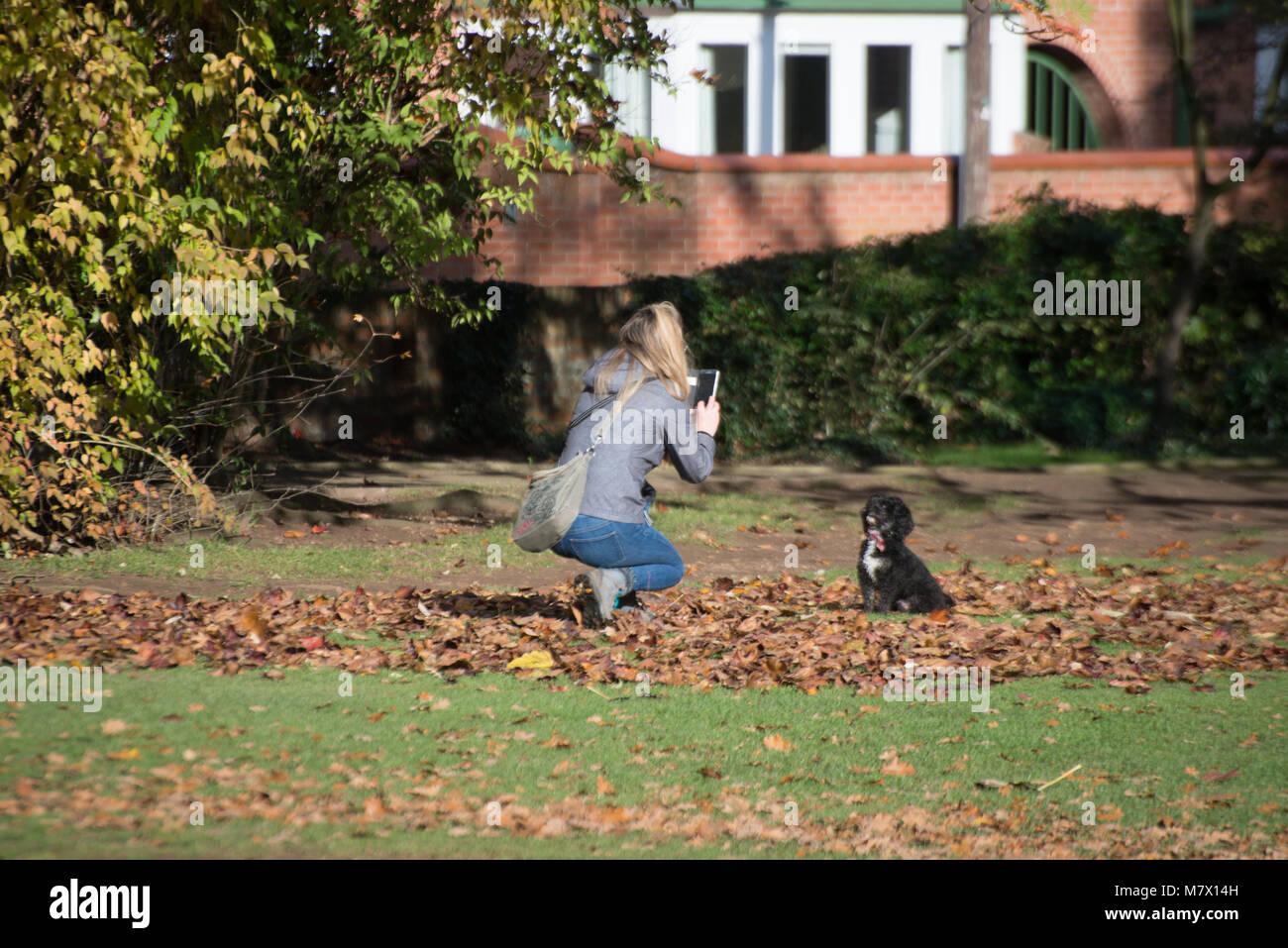 woman takes picture of obedient dog on autumn leaves - Stock Image