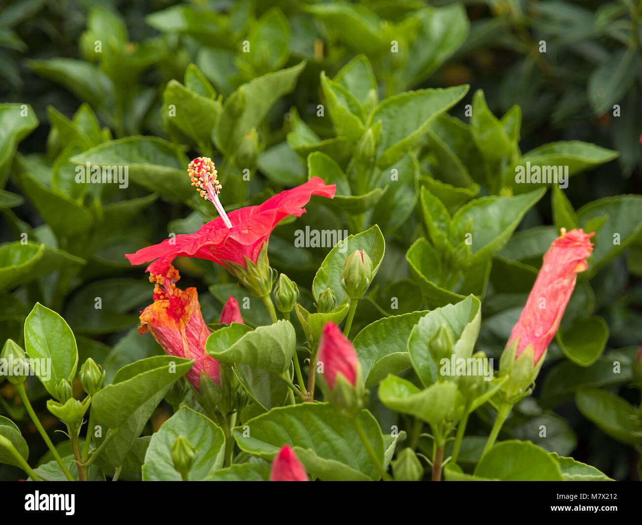 Jamaica national flower hibiscus gallery flower wallpaper hd hibiscus flower malaysia national flower stock photos hibiscus hibiscus the national flower of malaysia stock image izmirmasajfo Choice Image