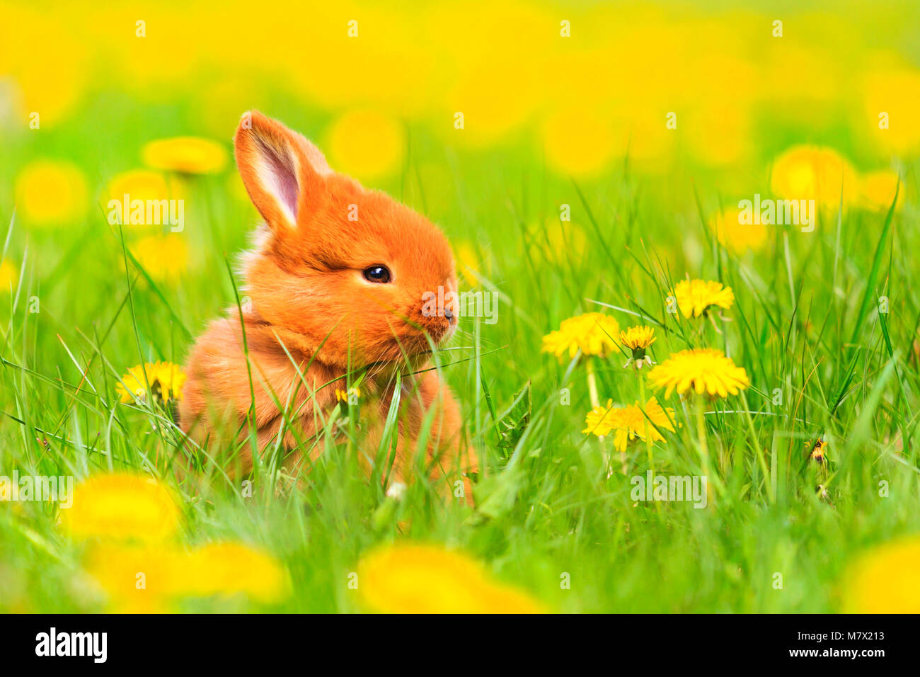 Cute Red Rabbit Sits Among The Yellow Flowers Baby Animals Pets