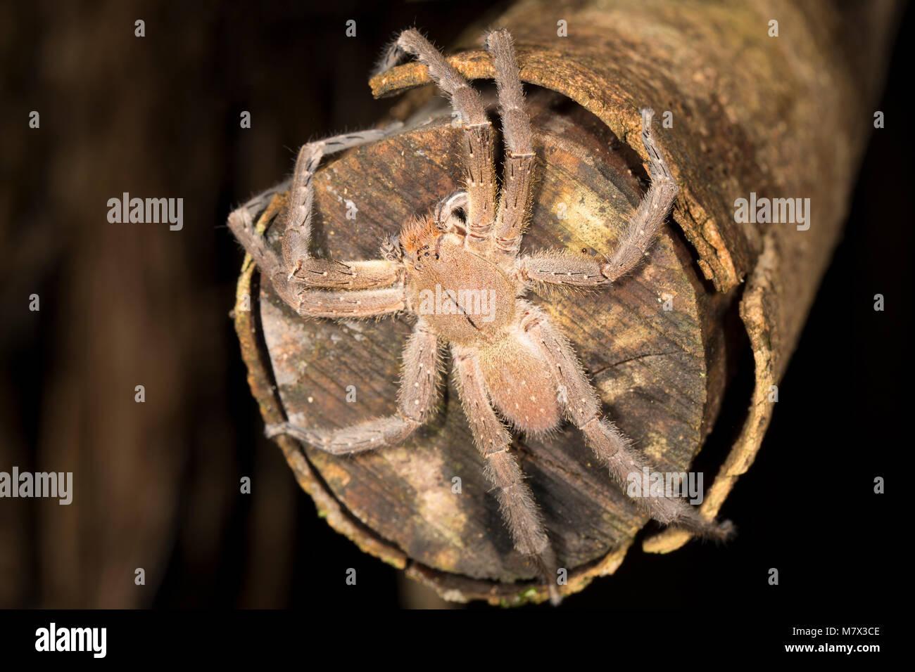 A Brazilian Wandering Spider Phoneutria Fera In Jungle Camp By The Coppename River Suriname