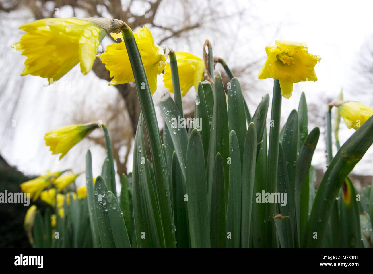 General views of Spring daffodils in bloom beside the River Wey and the Alice in Wonderland statue, Millmead, Guildford - Stock Image