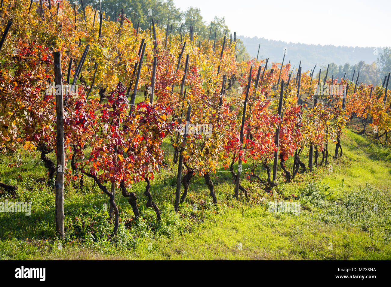 Colorful trees of grapes in autumntime, Italy - Stock Image