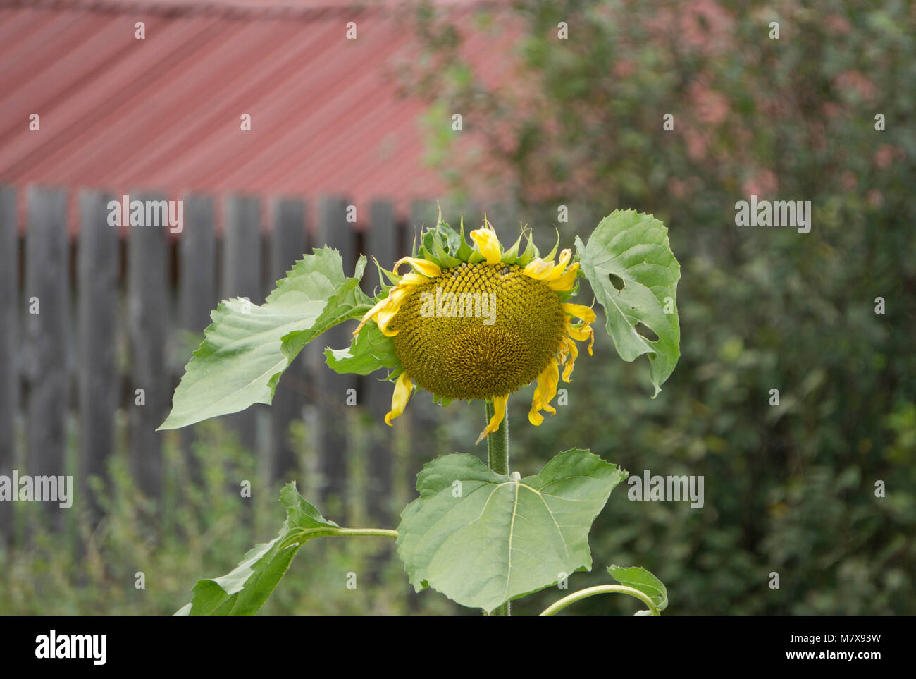the sunflower cold autumn - Stock Image
