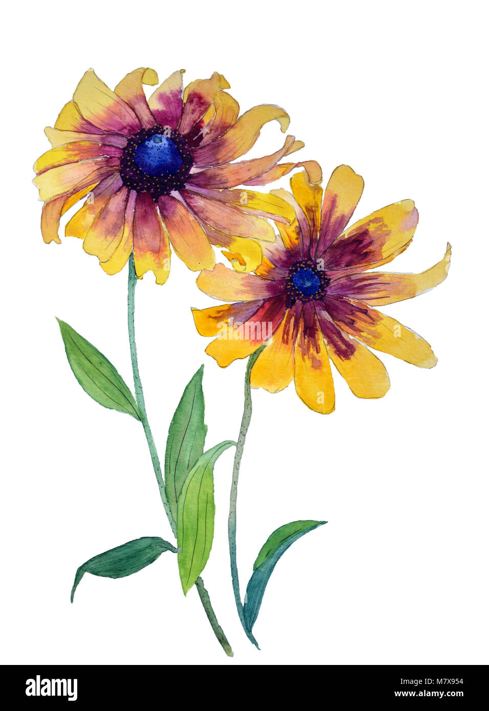 Watercolor Painting Rudbeckia Yellow Daisy Echinacea Flower On A