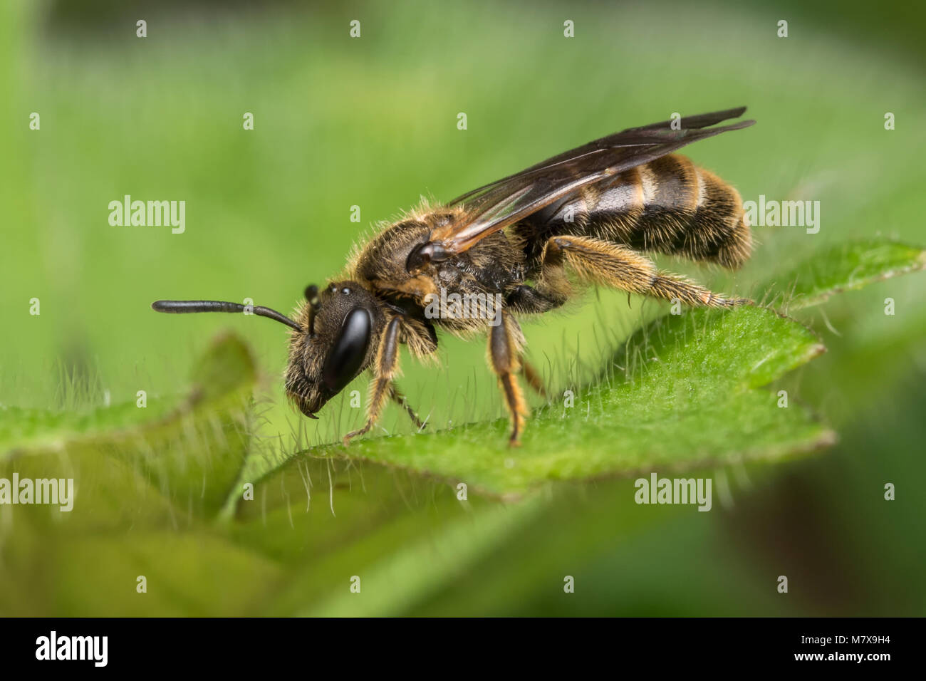 Sweat Bee or Furrow Bee (Halictus rubicundus) resting on a leaf. Tipperary, Ireland - Stock Image