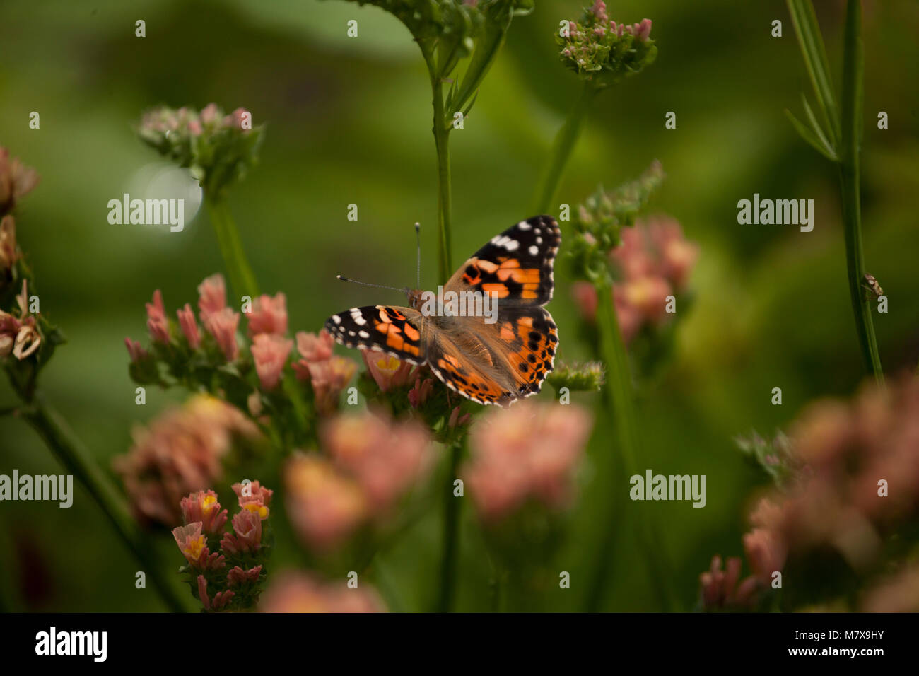 Monarch butterfly sitting on plant in English country garden - Stock Image