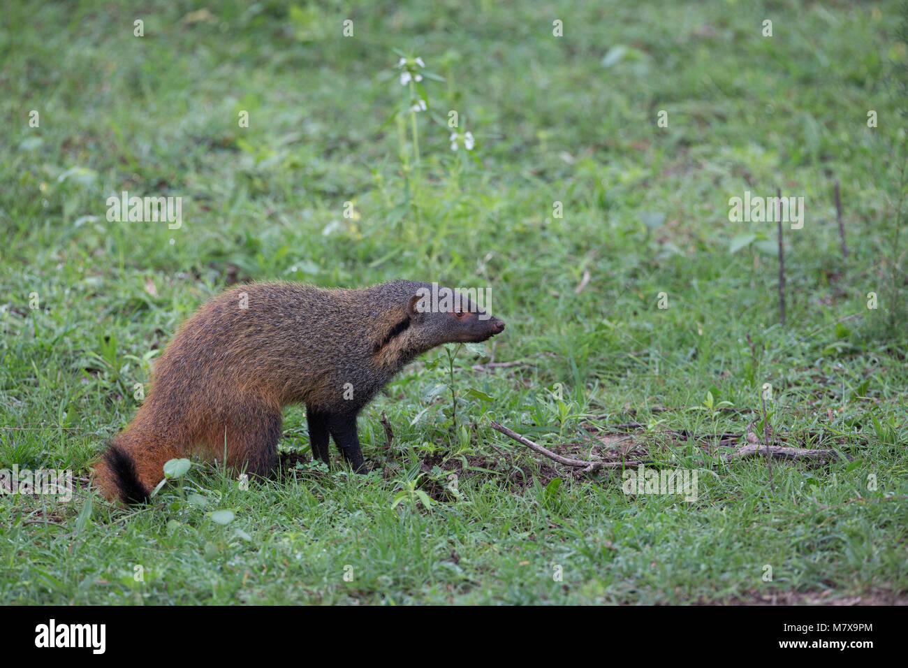 Stripe-necked mongoose - Stock Image