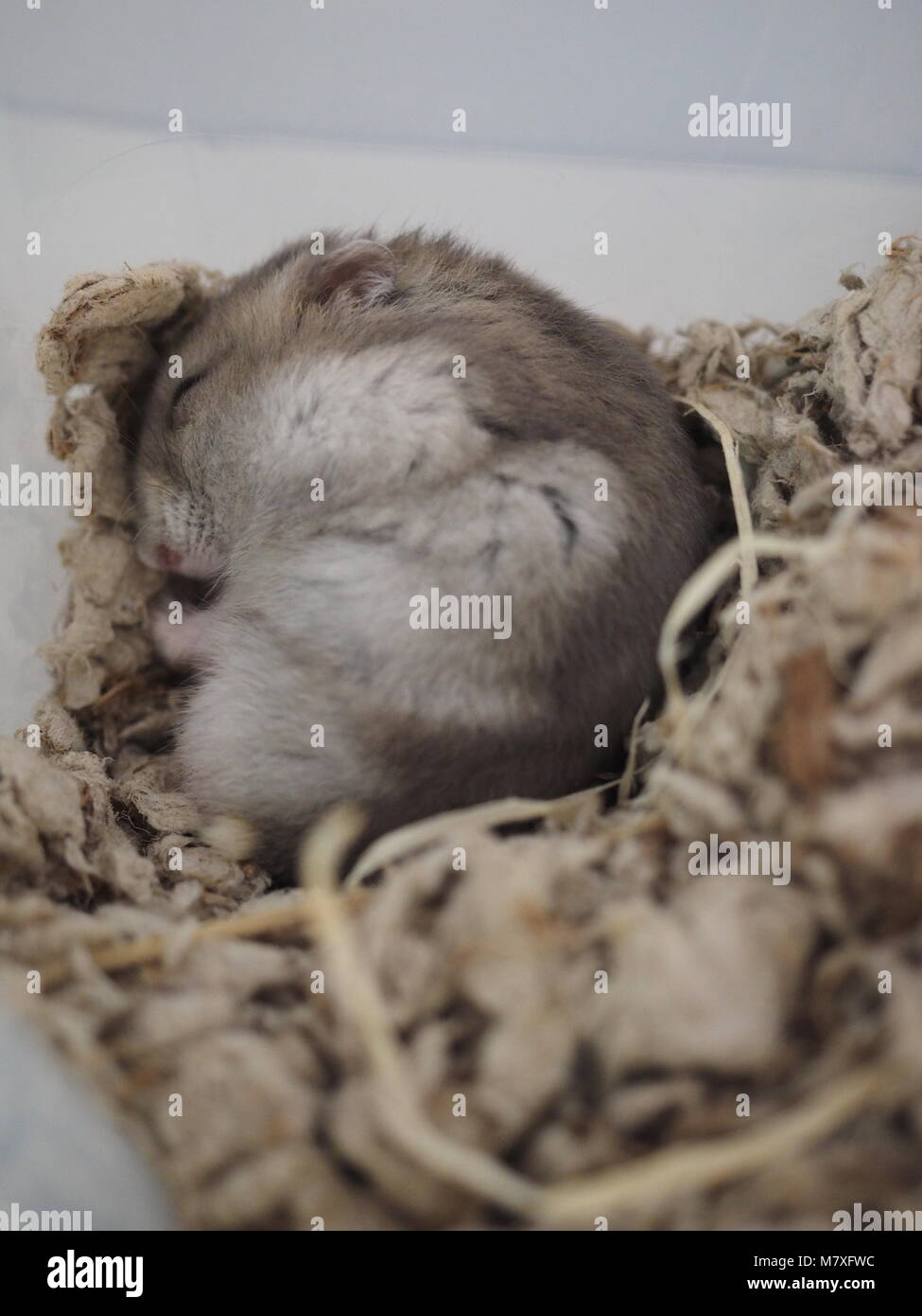 Sleeping Beauty Hamster - Stock Image