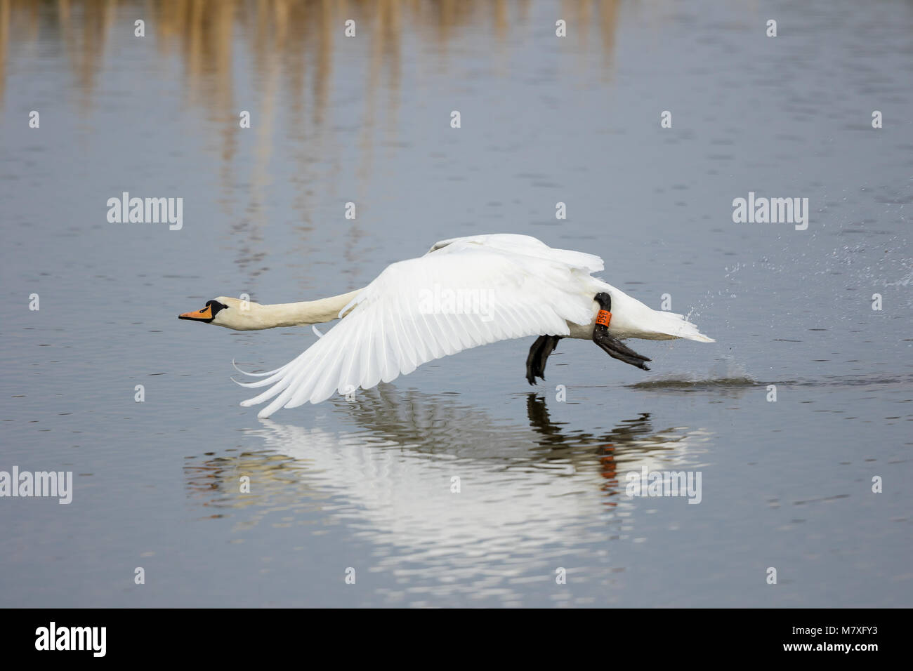 Close up of wild mute swan (Cygnus olor) taking off from water. Neck outstretched, large impressive wings in downward Stock Photo