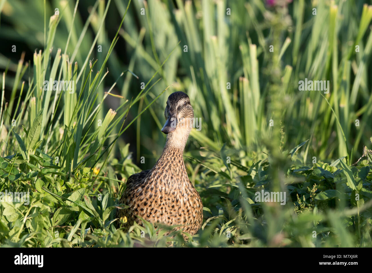 Single, adult female mallard (Anas platyrhynchos) makes comical appearance, popping up in middle of wild green vegetation, - Stock Image