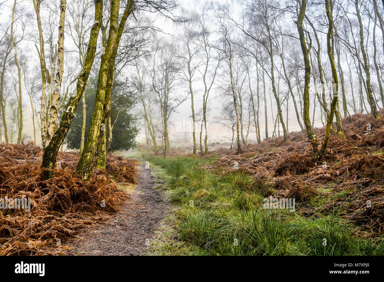 Mystical winter woodland in the middle of winter on Cannock Chase in the UK - Stock Image