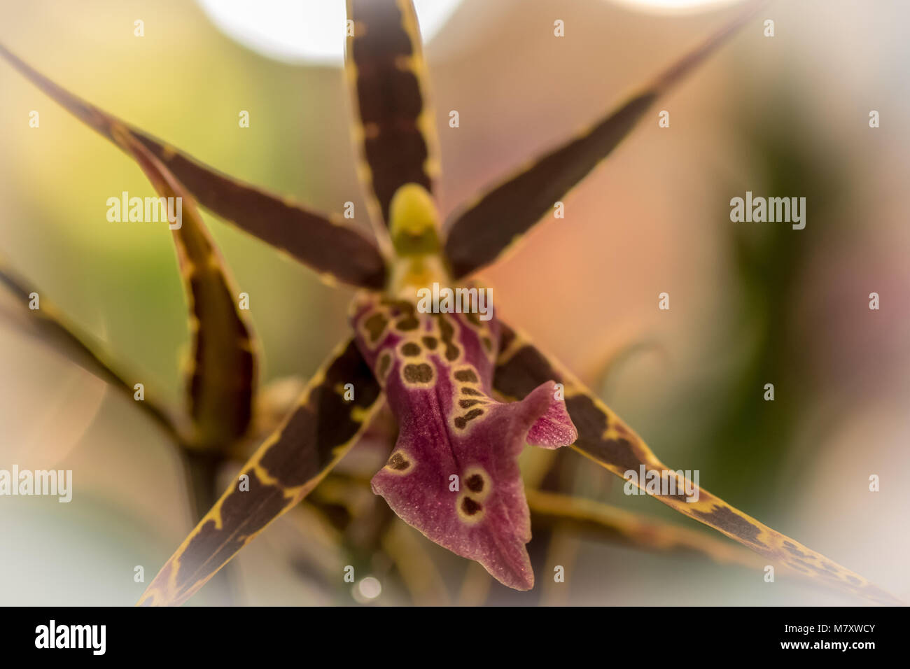 Intergeneric Orchid - Stock Image