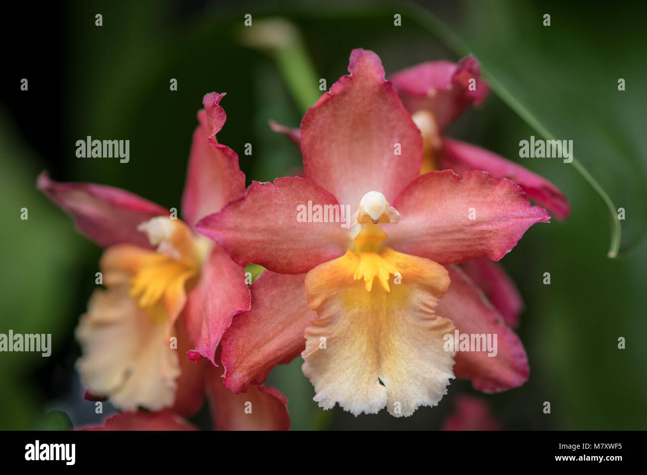 Orchid (Orchidaceae) - Stock Image