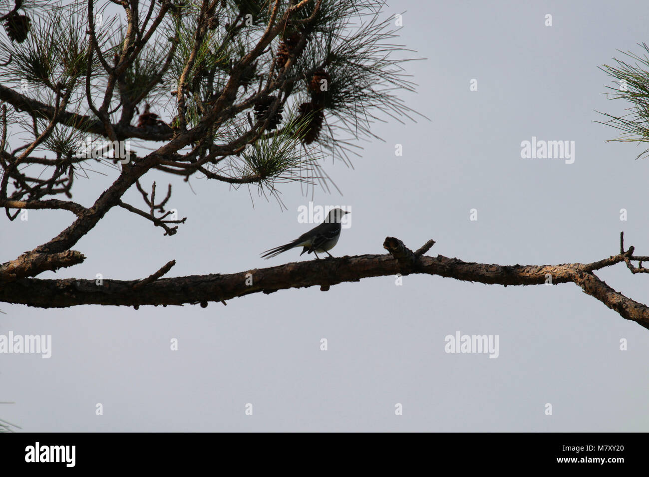 Silhouette Of A Northern Mockingbird Mimus Polyglottos Perched On Branch In Pine