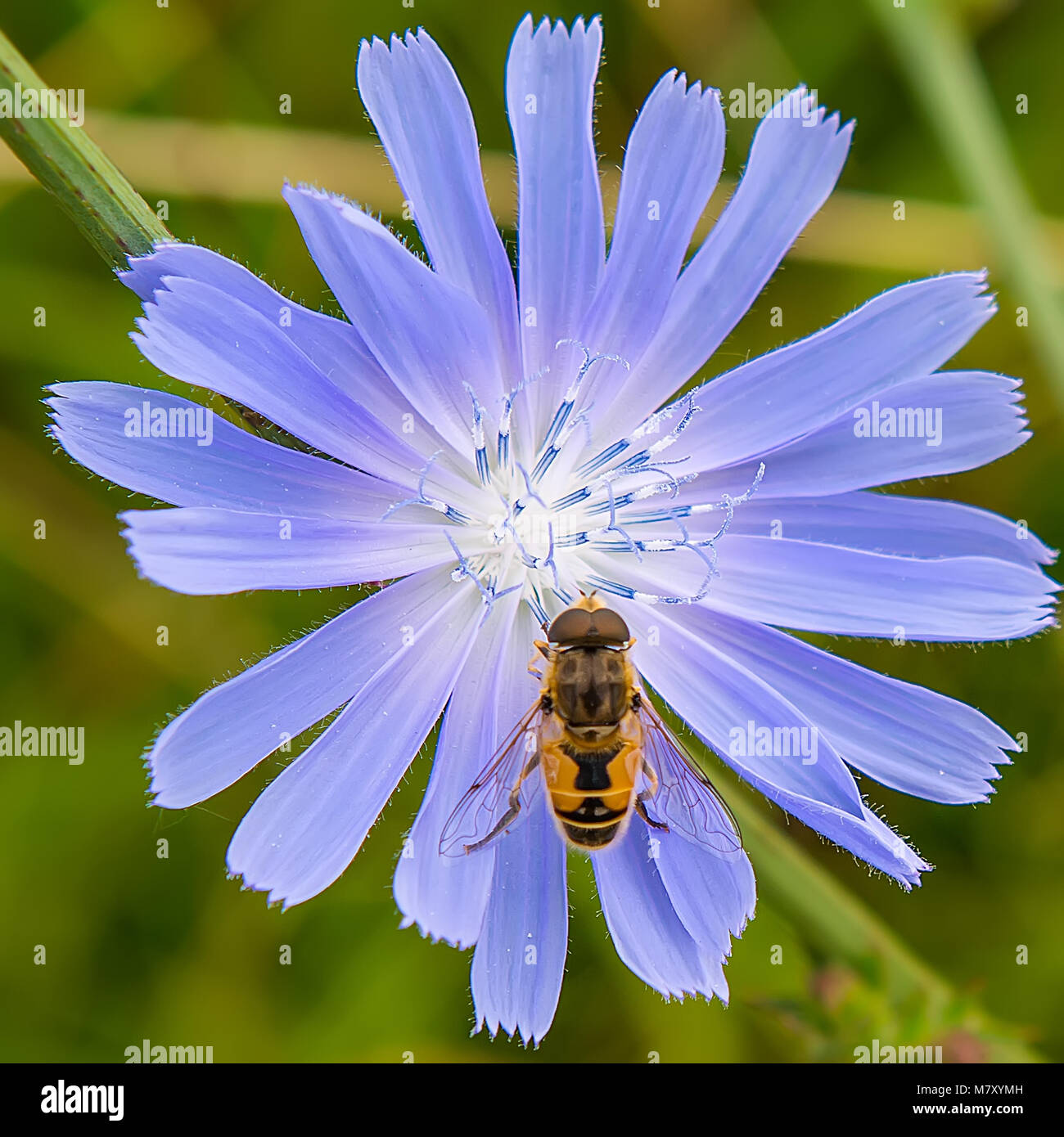 Ivy flower insect macro stock photos ivy flower insect macro stock bee jerk sits on a blue flower summer season stock image izmirmasajfo