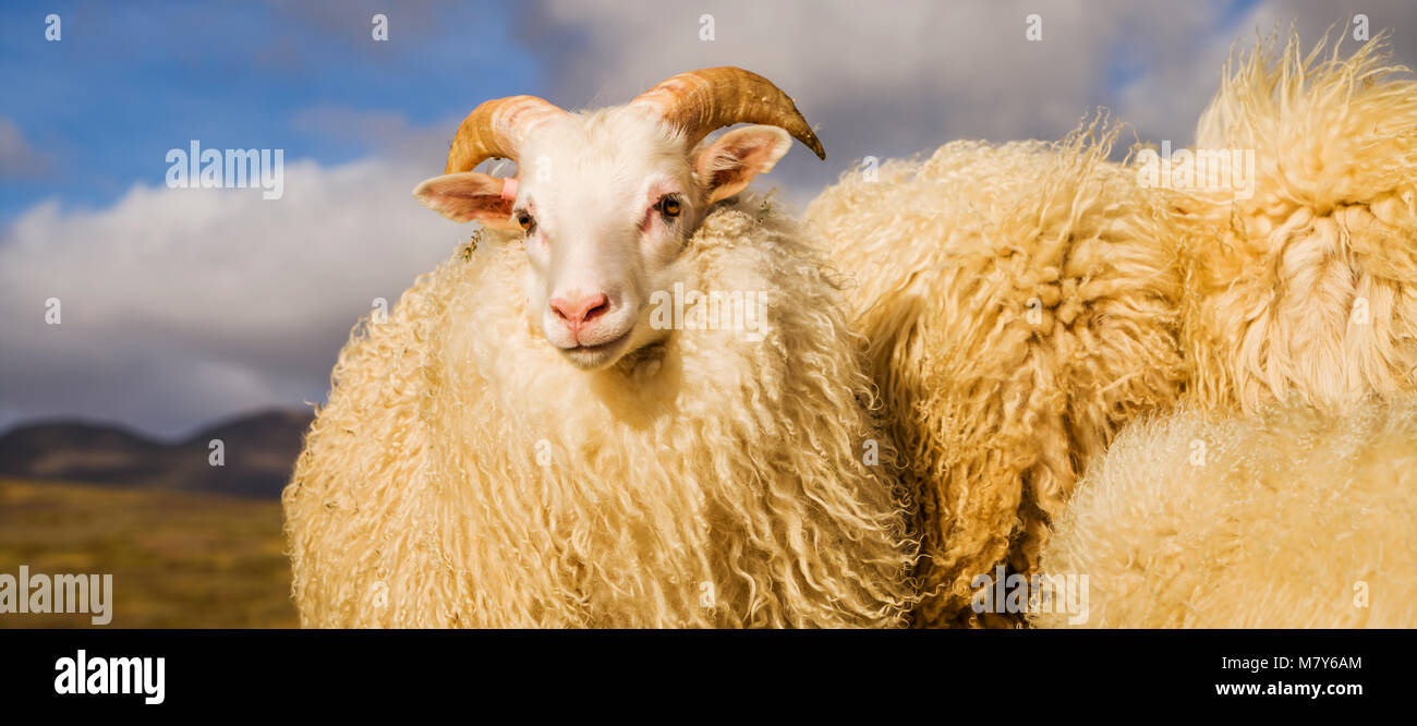 Portrait of Icelandic Lamb, Autumn round-up, Iceland - Stock Image