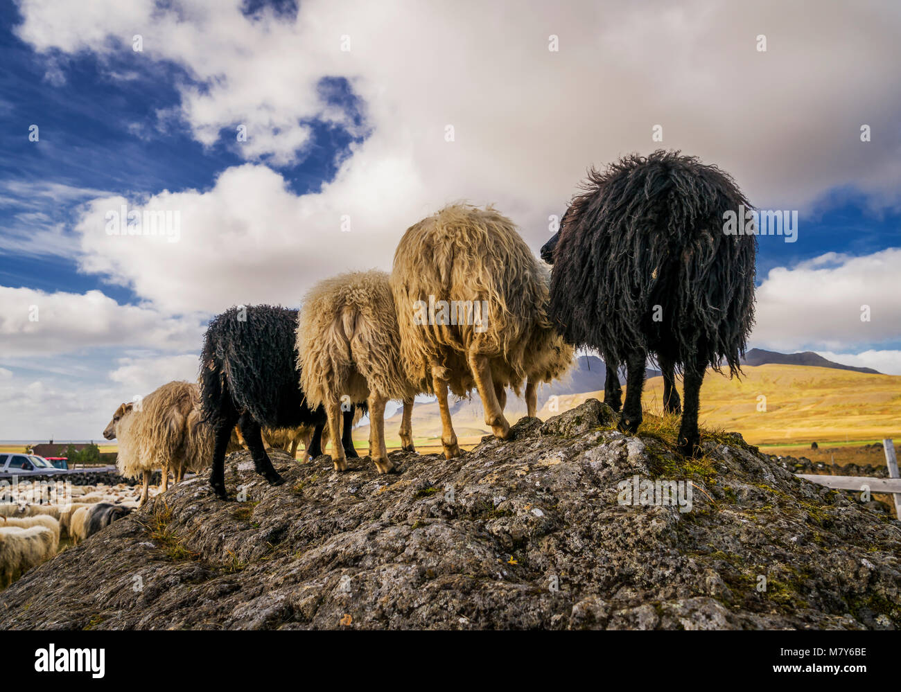 Backsides, Icelandic Sheep, Autumn round-up, Iceland - Stock Image