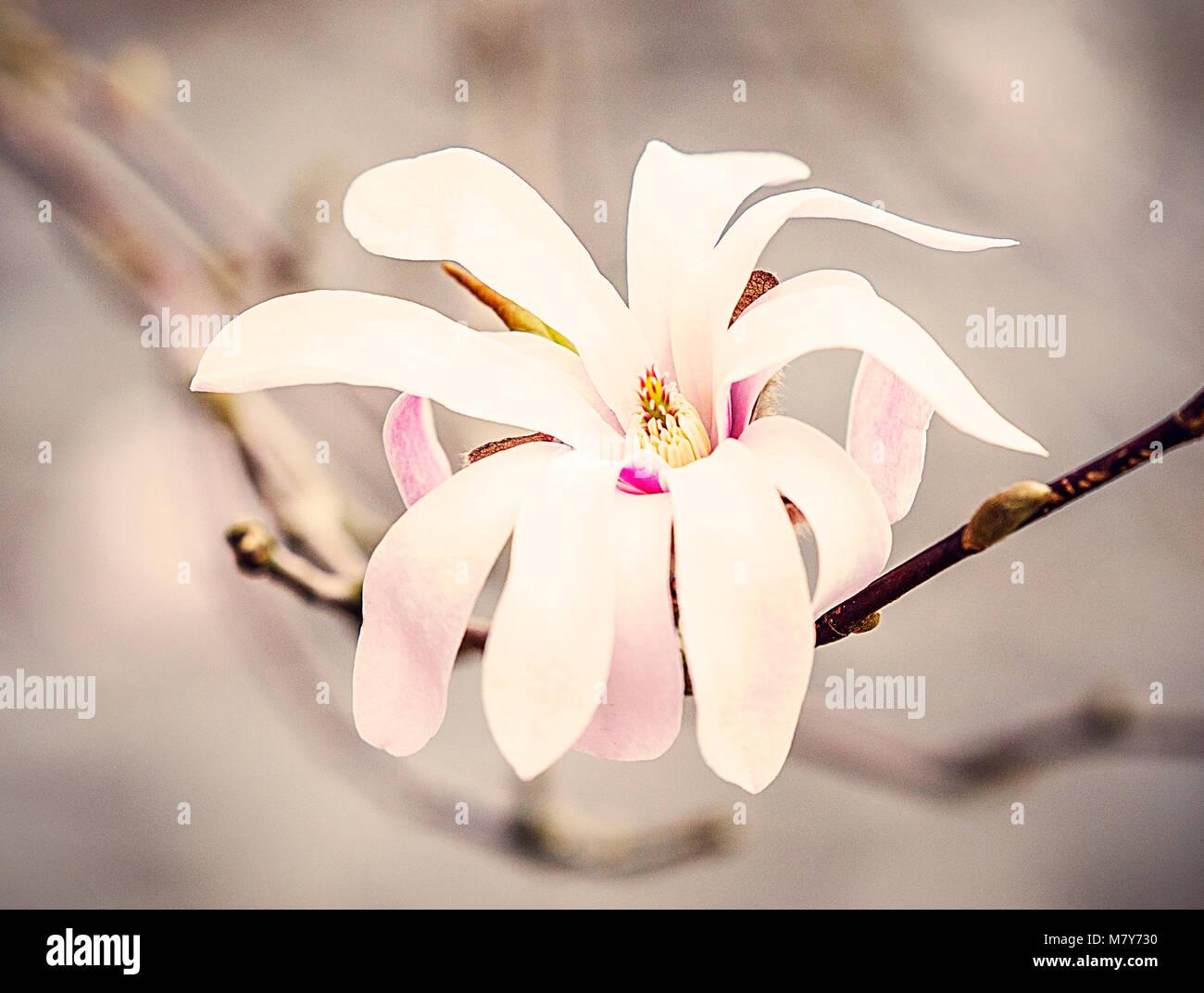 magnolia stellata, france - Stock Image