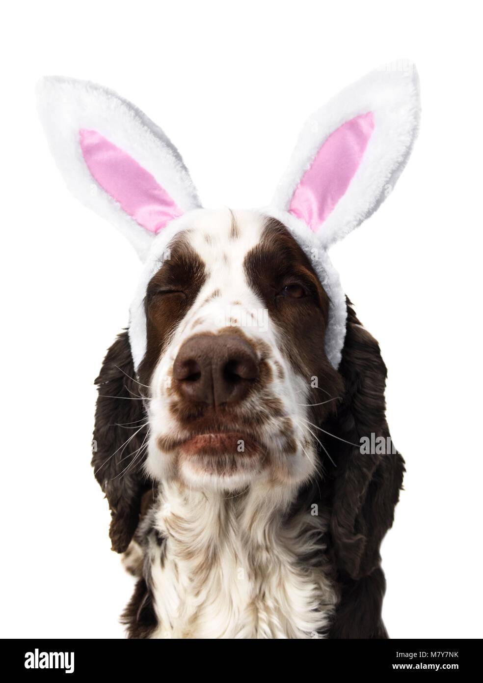 English Springer Spaniel Dog Winking With Bunny Ears - Stock Image
