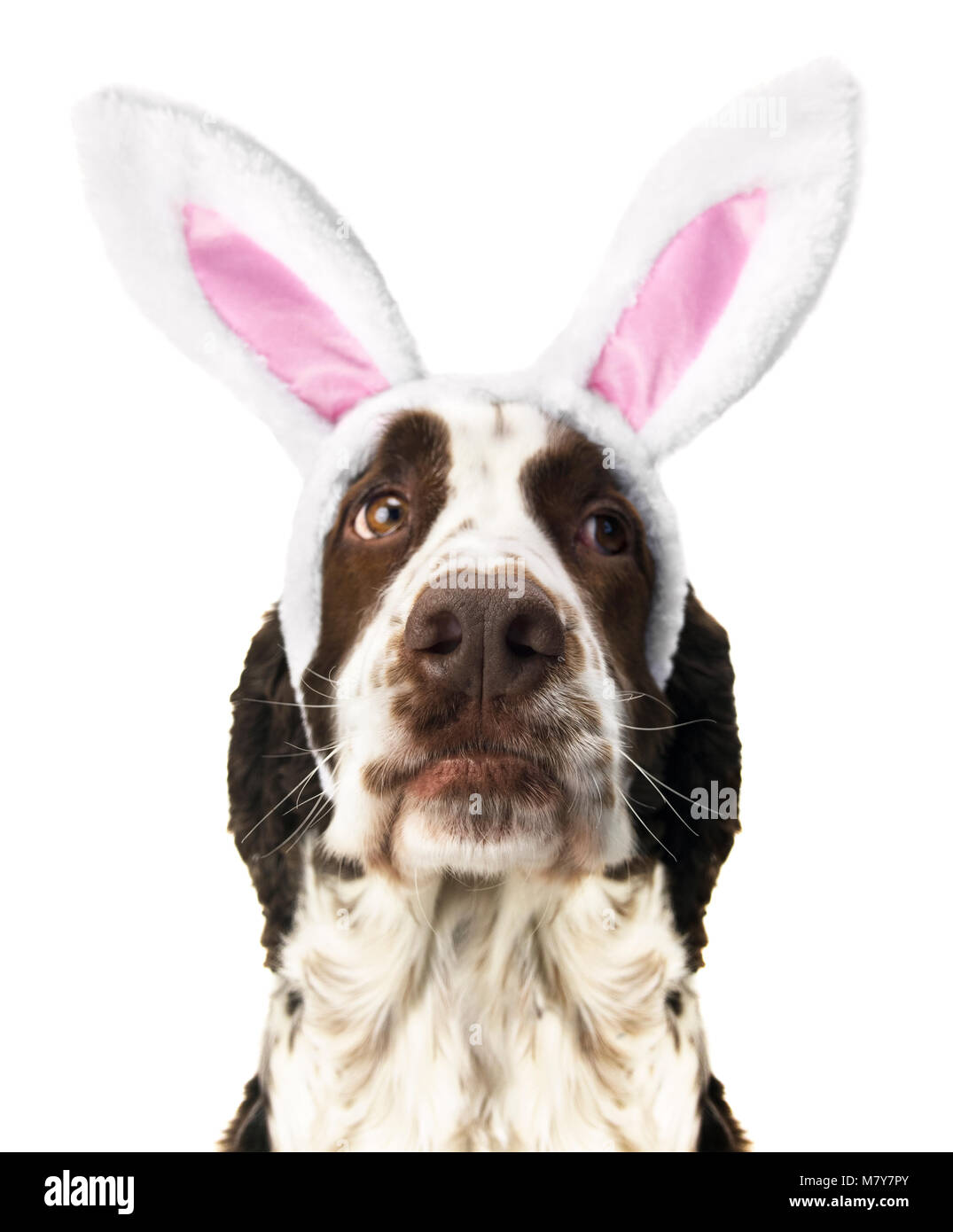 Springer Spaniel With Easter Bunny Ears - Stock Image