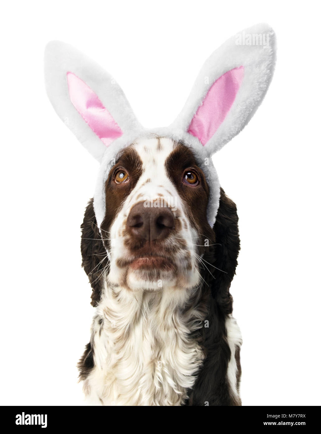Springer Spaniel Looking Up With Bunny Ears. - Stock Image