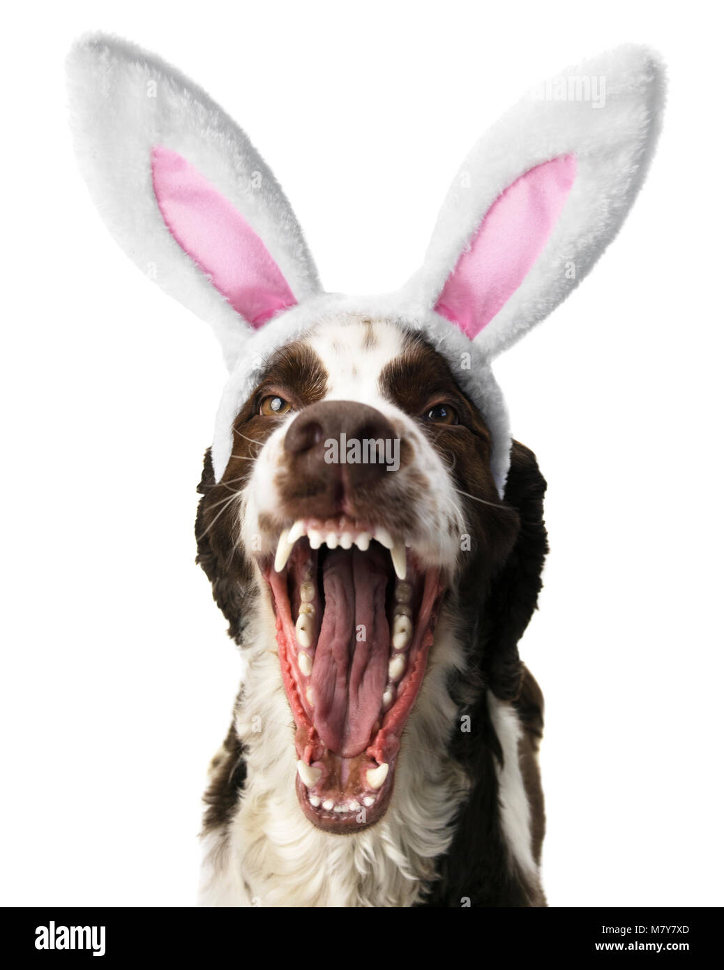 Springer Spaniel With Open Mouth and Bunny Ears. - Stock Image