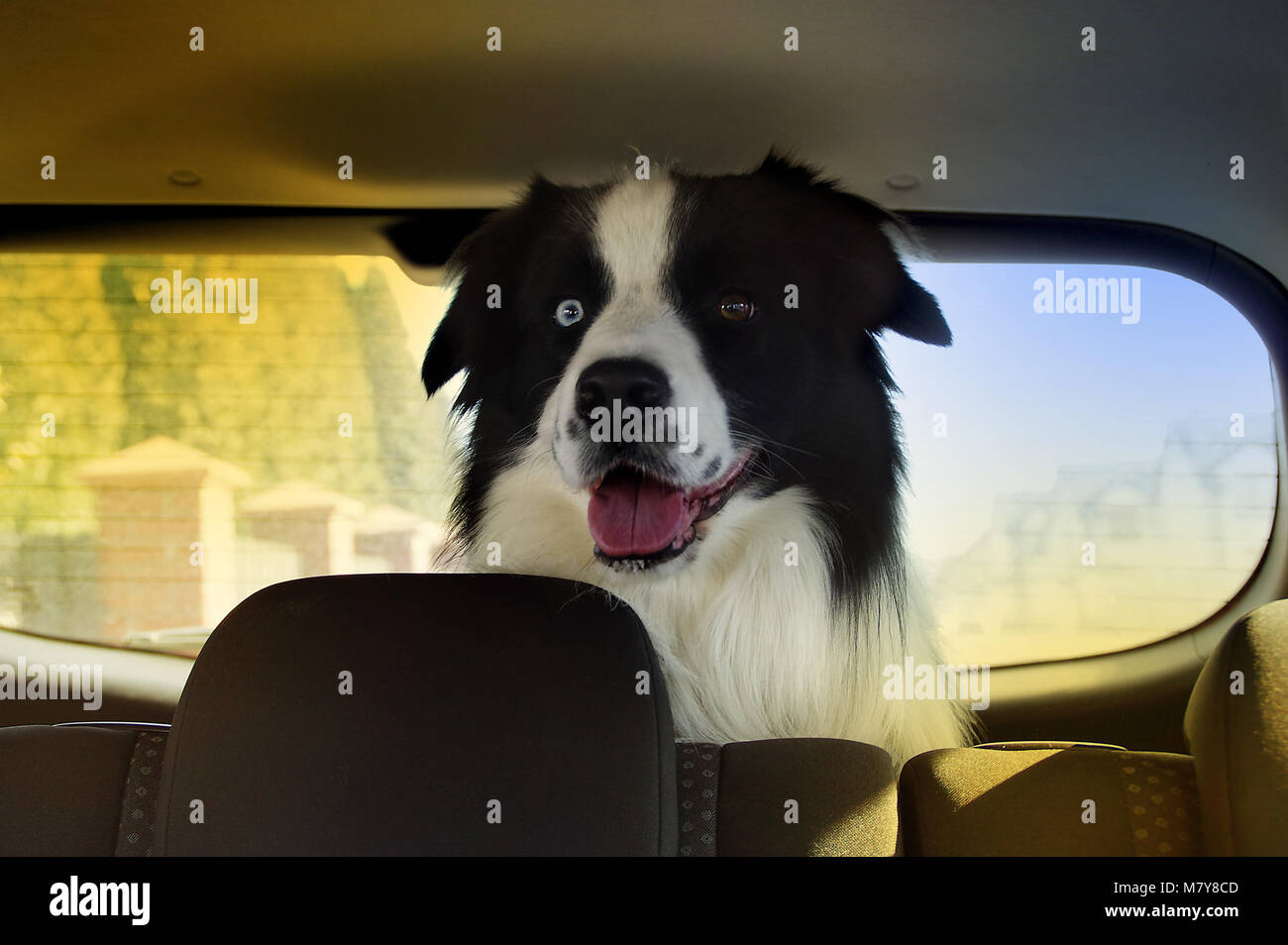 Happy dog in car trunk ready to long travel - Stock Image