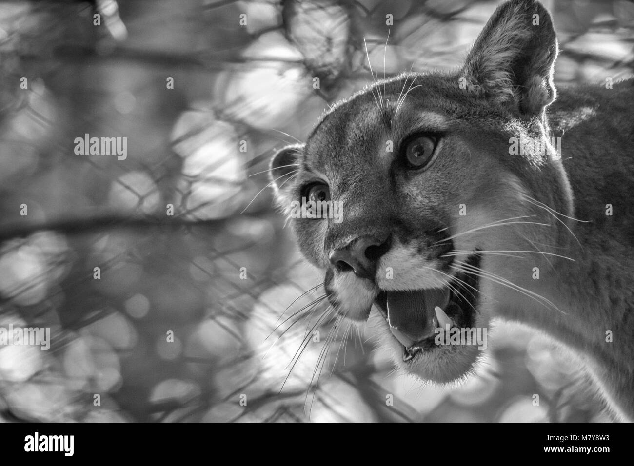 Close-up of a cougar (Puma concolor) against a backdrop of leaves and fence, at the Western North Carolina Nature - Stock Image