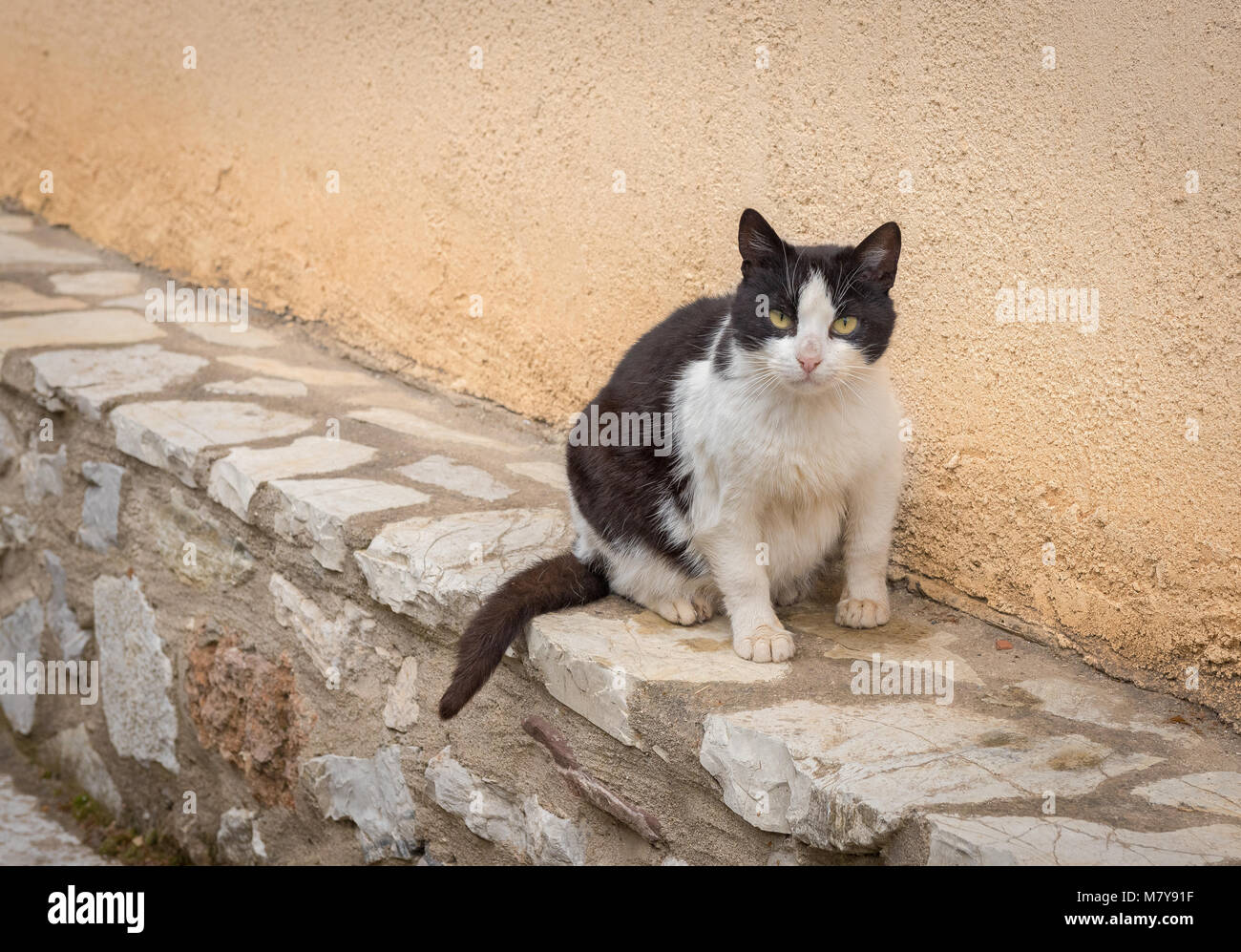 Black and white stray fatty cat sitting by the wall and looking us Stock Photo