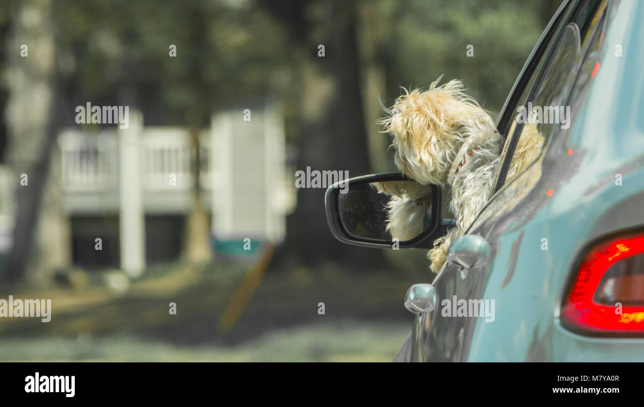 Small dog with head out of car window looking forward - Stock Image